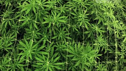 斩断源头!我国将成全球首个整类列管合成大麻素类物质的国家