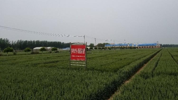 这份建议请收好,今年河北的小麦要这样种