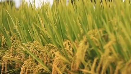 重庆巨型稻首次收割测产亩产近500公斤