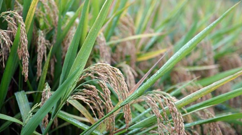 第三代杂交水稻双季亩产突破1600公斤