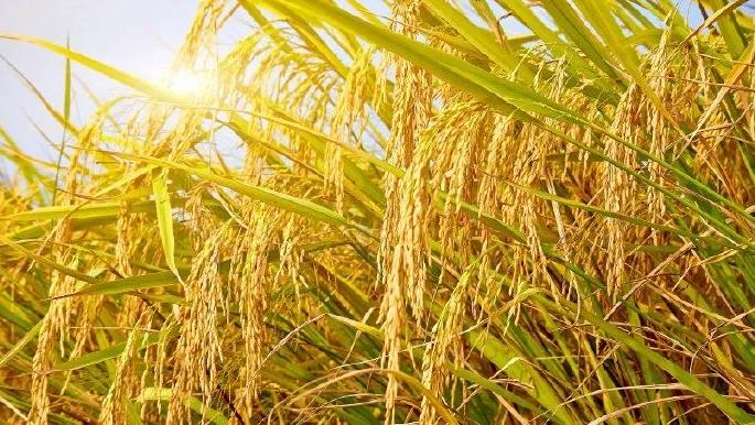 袁隆平院士的遗愿实现了!河北永年杂交稻亩产实现1326.77公斤