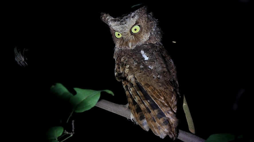 萌凶!福建厦门首次观测到国家二级保护动物黄嘴角鸮